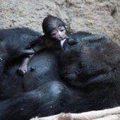 Bei den Gorillas gibt es Nachwuchs
