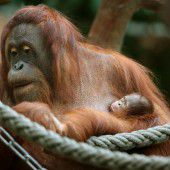 Nachwuchs bei den Orang-Utans