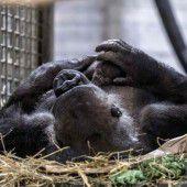 Überraschender Gorilla-Nachwuchs im Allwetterzoo Münster