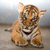 Süßes Tigerbaby
