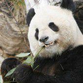 Panda Long Hui verstorben