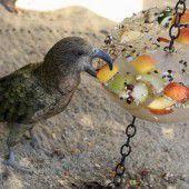 Bedroht: Überlebt der Kea in Neuseeland?