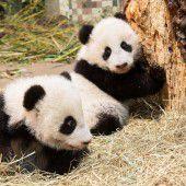 Pandas auf Erkundungstour