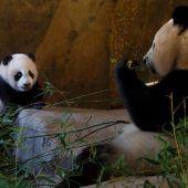 Mutiges Panda-Mädchen