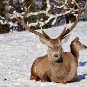 Rotwild genießt die Wintersonne