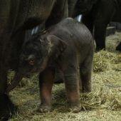 Drittes Elefantenbaby