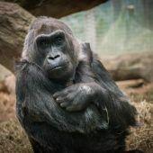 Ältester Gorilla der Welt in Ohio gestorben