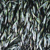 Für Millionen sind Fische 2050 nicht mehr leistbar