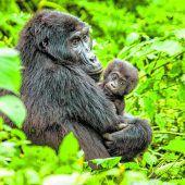 Strenge Auflagen, um die Gorillas zu schützen