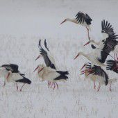 Überlebenskampf für Großvögel im Rheintal
