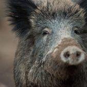 Jagd nach Wildschweinen
