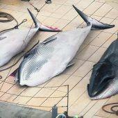 Tierschützer kritisieren Norwegens Walfang