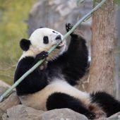 Bao Bao zieht nach China