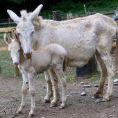 Trächtige Eselstute Sissy im Wildpark vergiftet