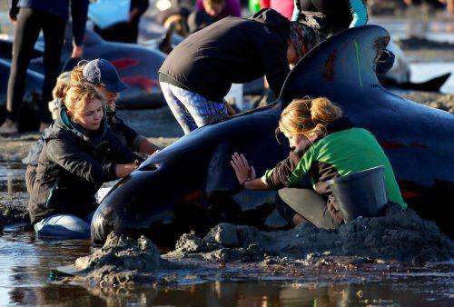 Die Helfer verzweifeln: Zurück ins Meer gebrachte Tiere kehren hartnäckig wieder zu ihren Artgenossen an den Strand zurück. Foto: Reuters