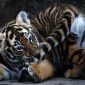 Verspielter kleiner Tiger