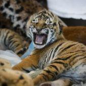 Brüllen wie ein großer Tiger