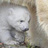 Münchner Eisbärenbaby wagt sich erstmals nach draußen