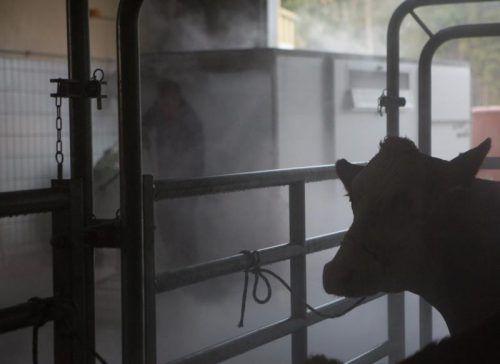 Vor einem Jahr gab es viele Rindertötungen in der TKV in Koblach. Foto: VN/Hartinger