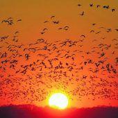 Hormon steuert die Reiselust der Zugvögel