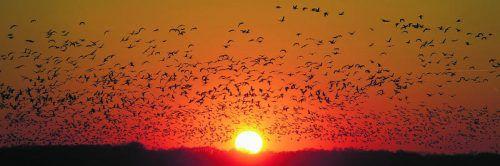 Zugvögel reisen Tausende Kilometer. Dabei müssen vor allem die kleinen Tiere öfters Pausen einlegen, um auszuruhen und den Hunger zu stillen.  APA