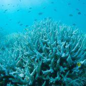 Erneut Korallenbleiche am Great Barrier Reef