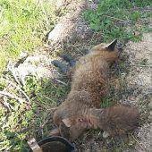 Fuchs trat in verbotene Falle