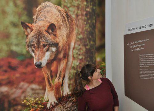 Der Wolf ist wieder zurück im Land. Über ihn gibt es in der intaura viel zu erfahren. Foto: inatura