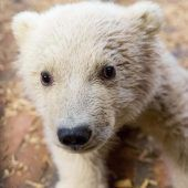 Eisbärbaby Fritz ist gestorben