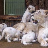 Löwen-Vierlinge haben einen Namen