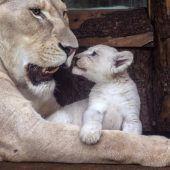 Ein Bussi für die Löwenmama