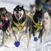 Die Hunde sind los beim Iditarod