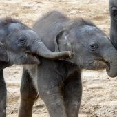 Süße Elefantenkinder
