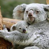Nachwuchs bei den Koalas