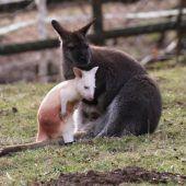 Albino-Känguru heißt Flöckchen