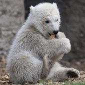 Kleine Eisbärin heißt Quintana