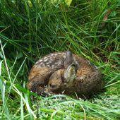 Kleine Kitzretter als große Hoffnung der Wildtierhilfe