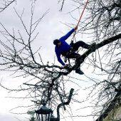 Ginkgo-Baum beim Rathaus gestutzt