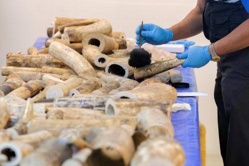 Thailändische Forensiker sichern DNA und Fingerabdrücke an den beschlagnahmten Stoßzähnen. Foto: Reuters