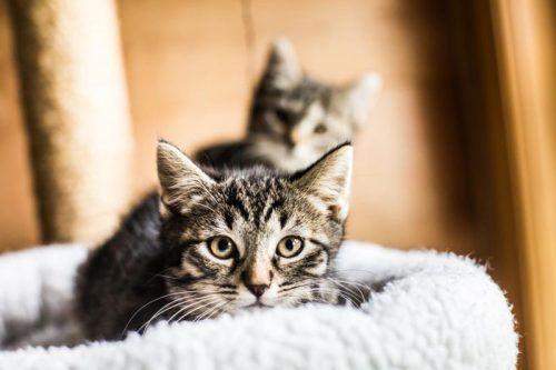 Wie die Katze zum Menschen oder der Mensch zur Katze gefunden hat, ist eines der Themen des Kongresses.  Foto: VN/STEURER