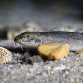 Bodensee-Höhlenfisch überrascht Forscher