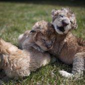 Wuschelige Löwenbabys