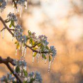 Wieder bedroht Kälte die Gärten