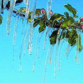 Eis schützt Obstblüten vor Frost