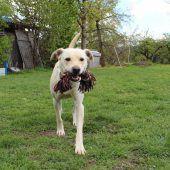 Labrador-Mischling spielt gerne Frisbee