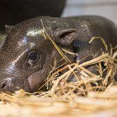 Süßer Flusspferd-Nachwuchs