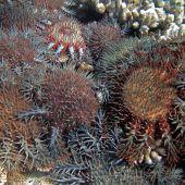 Riesenschnecken sollen Great Barrier Reef retten