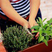 Kleine Aromawunder im eigenen Garten