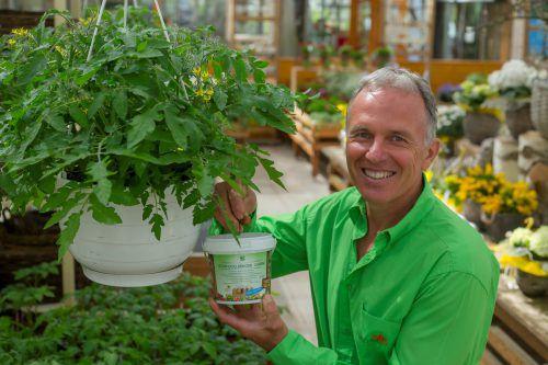 Stephan Ludescher düngt diesen Tomatenstrauch mit einem biologischen Dünger aus Schafwollpellets. Foto: VN/Paulitsch