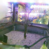 Kartoffelpflanze sprießt in harschem Marsklima